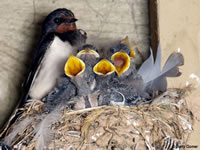 Mud Swallows