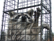 Allstate Animal Control trap containing live raccoon