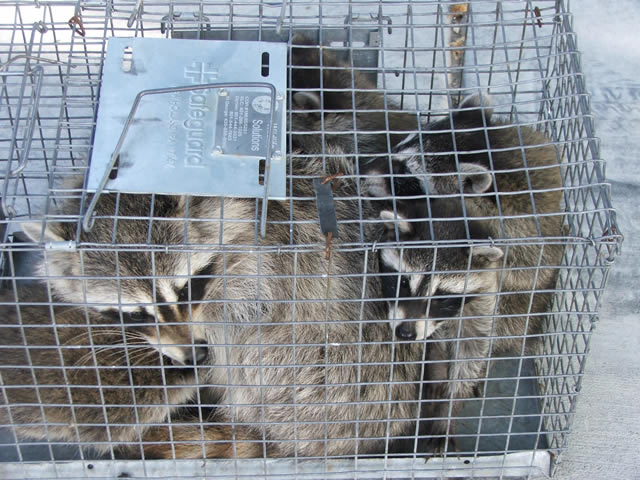 raccoon traps too small