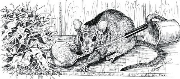 Rat nibbling on a ladle.