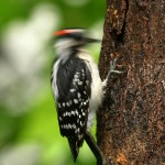 woodpecker removal