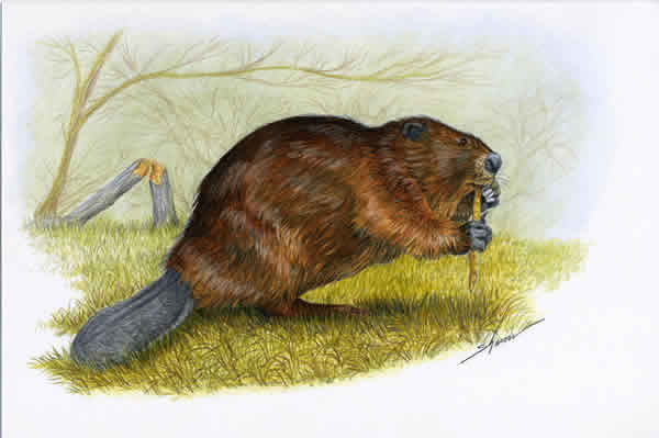 Beaver eating a stick