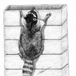Raccoon (6)