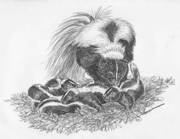 Momma skunk with her babies