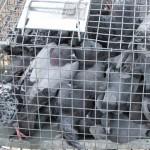 pigeon_trap4