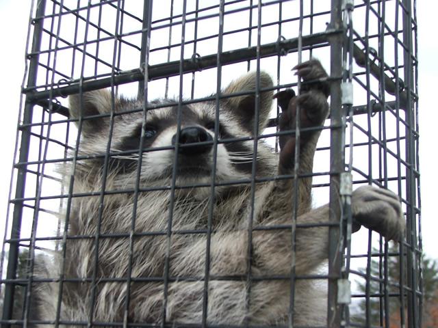 raccoon_venttrap