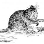 Rat (4)