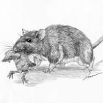 Rat (7)