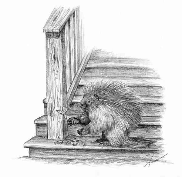 Porcupine eating wooden post in garage.