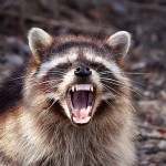 Yawning-Raccoon