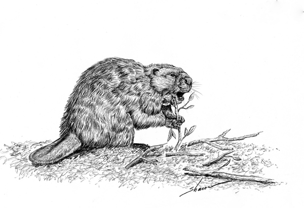 Beaver eating twigs, drawing