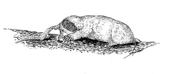 Mole eating a worm, drawing