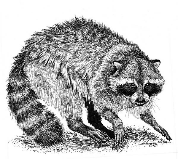 Raccoon defending it's territory drawing