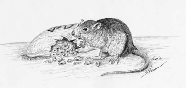 Rat eating food off a kitchen table, drawing