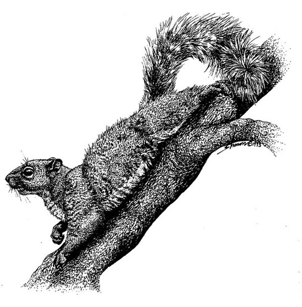 Squirrel laying on a branch, drawing