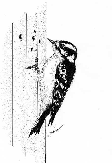 Woodpecker damaging house siding, drawing