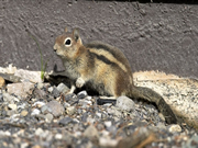 Allstate Animal Control photo Golden Mantled Ground Squirrel