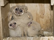 Allstate Animal Control photo baby barn owls