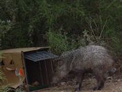 Allstate Animal Control photo javelina peccary