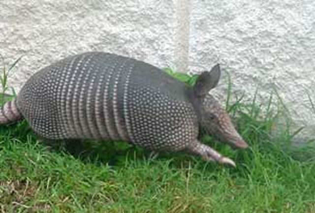 How to Get Rid of Armadillos foto