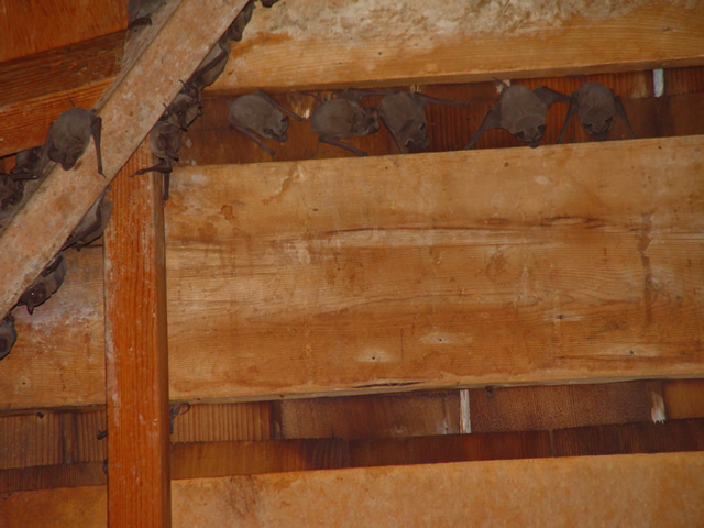 Allstate Animal Control, bat colony in attic