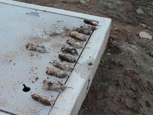 dead gophers in a row