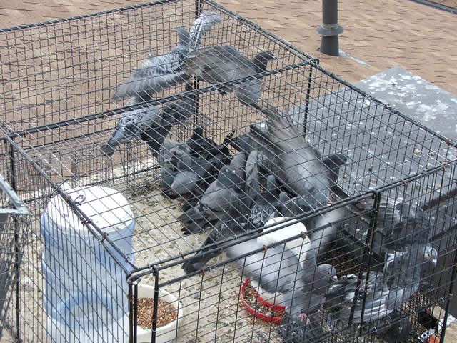 Allstate Bird and Animal Control, pigeon cage trap