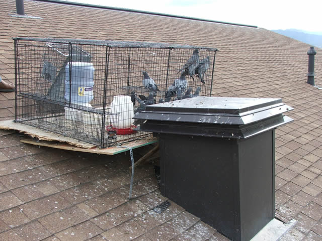 Allstate Animal Control, pigeons in a rooftop trap
