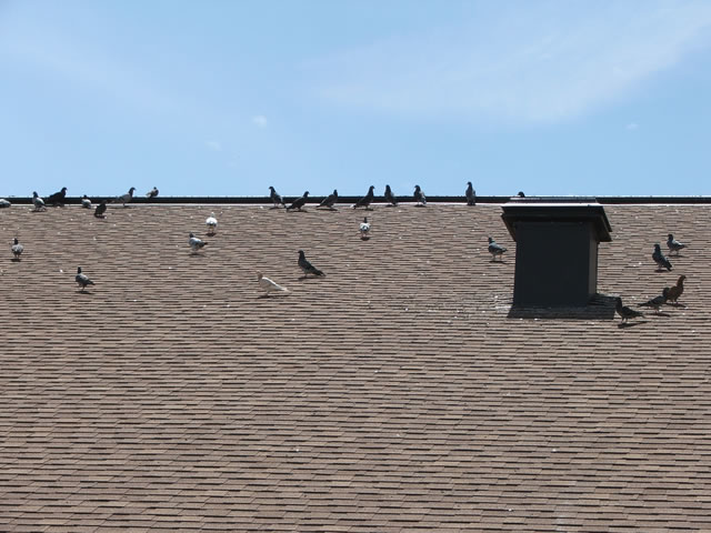 Allstate Bird and Animal Control, pigeons on a roof