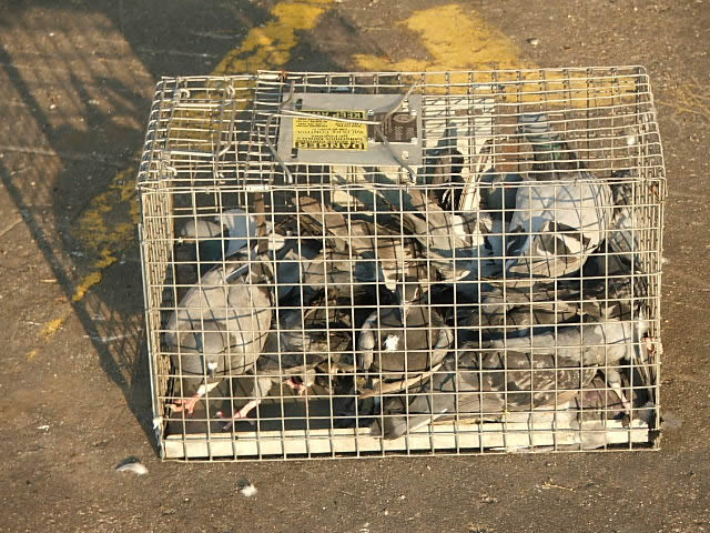 Allstate Animal Control, remove trapped pigeons in a cage
