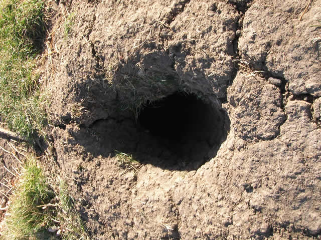 rabbit burrows and holes