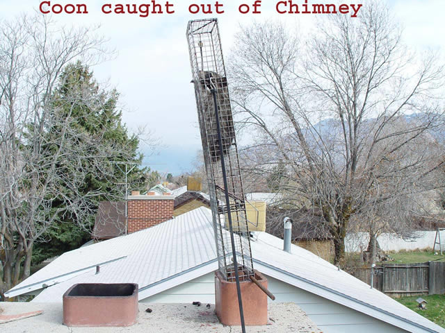 Allstate Animal Control chimney trap with live raccoon.