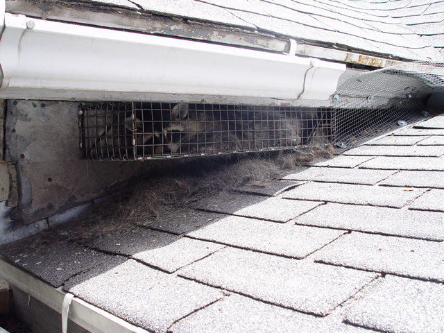 Allstate Animal Control raccoon trap attached to soffit to catch a raccoon living in the attic.