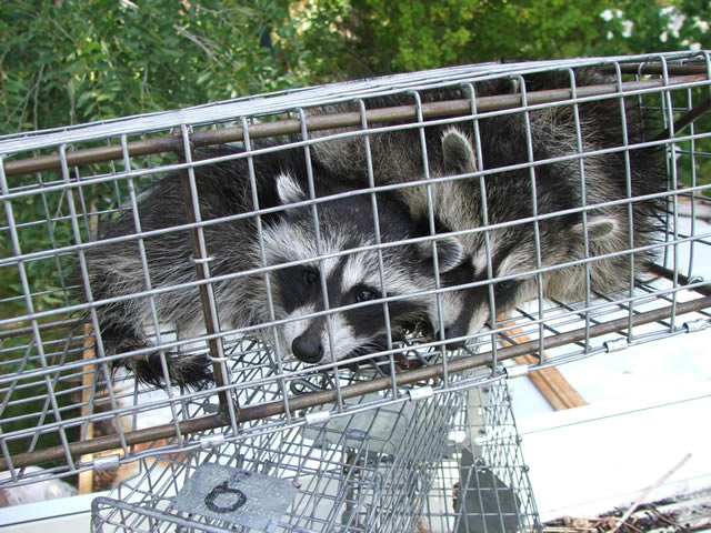 Allstate Animal Control cage trap containing two live raccoons