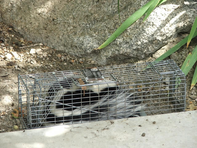 skunk cage trap with skunk trapped inside by Allstate Animal Control