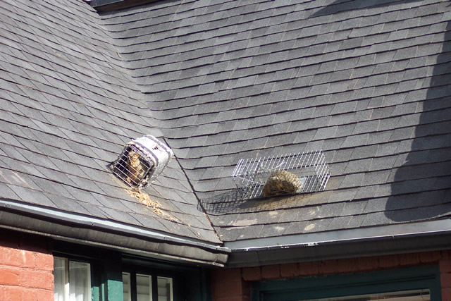 squirrels on roof