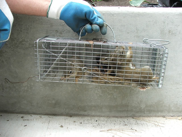 squirrel in cage trap