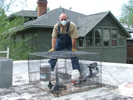 Allstate Animal Control photo pigeon trapping