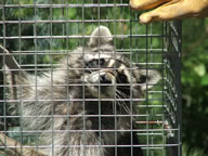 Allstate Animal Control raccoon in cage trap
