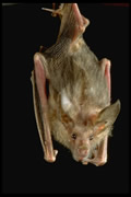 Allstate Animal Control, hanging bat