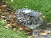 Allstate Animal Control, caged raccoon