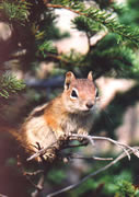 Allstate Animal Control photo chipmunk on treebranch