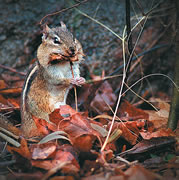 Allstate Animal Control photo chipmunk autumn leaves