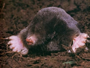 Allstate Animal Control, ground mole