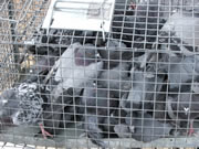 Allstate Animal Control, pigeon extermination begins with trapping