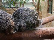 Allstate Animal Control photo porcupine pair