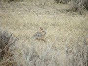 Allstate Animal Control photo prairie rabbit