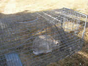 Allstate Animal Control photo rabbit in trap