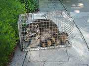 Allstate Animal Control trapping raccoons