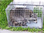 Allstate Animal Control, raccoons in cage